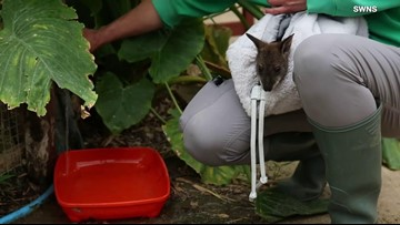 Orphaned Wallaby's Human Caretaker Carries Him Around in a Pouch on Her Chest