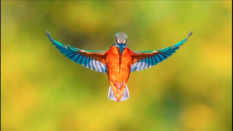 'One-in-a-Million' Picture of Kingfisher Bird Snapped by Amateur Photographer