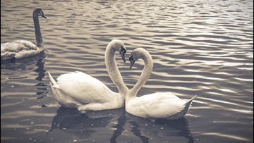 Watch These Two Love Birds Perform a Heart-Shaped Swan Dance