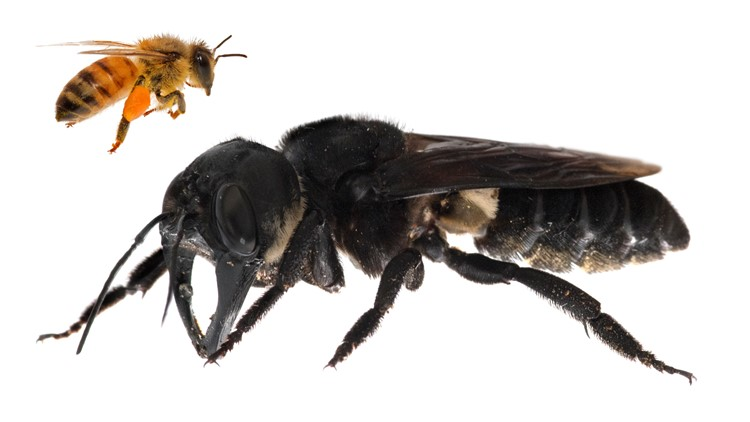 Wallaces giant bee living images