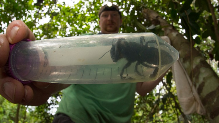 Eli Wyman with the first rediscovered individual of Wallace's giant bee