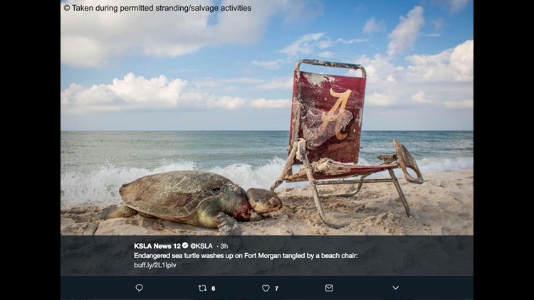 Endangered sea turtle strangled by beach chair — GRAPHIC IMAGES