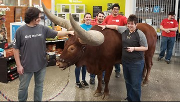 Man brings giant steer to Petco where 'all leashed pets are welcome'