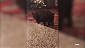 You need to watch this bear wander through the lobby of the Stanley Hotel