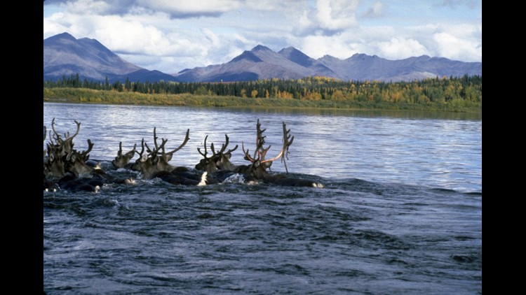 Caribou crossing the Kobuk River in Kobuk Valley.(Photo by Western Arctic National Parklands / Creative Commons)