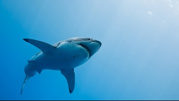 Researchers swim with what could be largest great white shark ever recorded