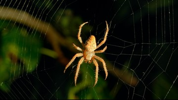 Spiders could theoretically eat all humans on Earth in just one year