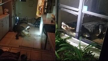 11-foot alligator breaks through windows of Florida home