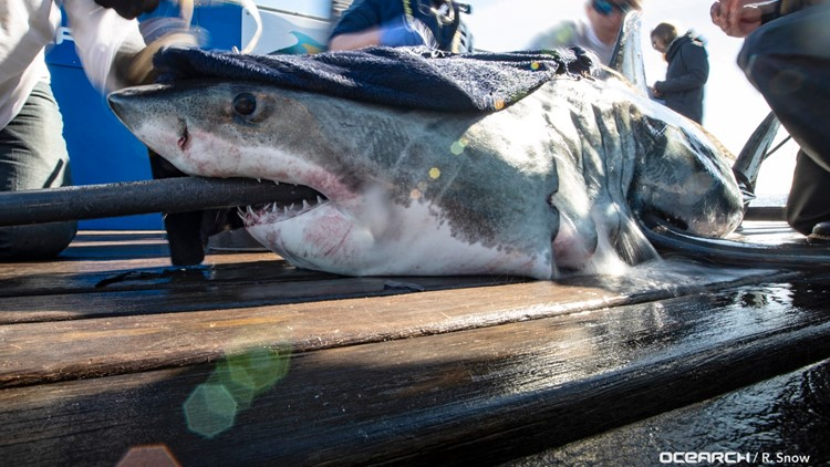 Two Great White Sharks Surface Near The Outer Banks Wwltv Com