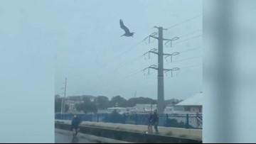 Pelicans rescued during Hurricane Dorian released