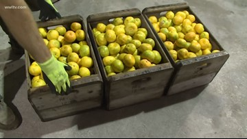 After two tough years, citrus crop looking good