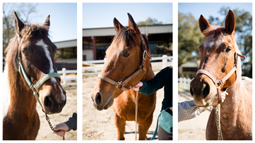 19 parade horses looking for homes after Mardi Gras