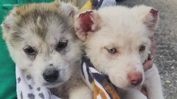 Hundreds offer to adopt abused Husky puppies with ears, tails cut off