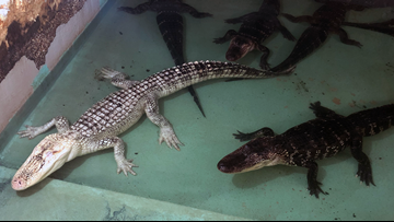 Insta-Gator Ranch and how hatcheries are saving Louisiana's alligators