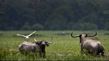 Asian water buffalo stolen, killed in Plaquemines Parish