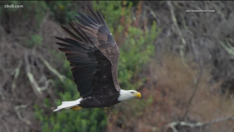 See Bald Eagles nests on A Cajun Man's Swamp Tour