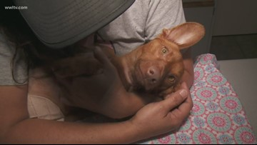 Buddy the dog has successful surgery after abuse in Slidell