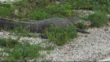 Verify: Meth-gators, are they a real thing?