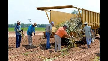 Farmers move sugarcane a bit north; LSU tests cold tolerance