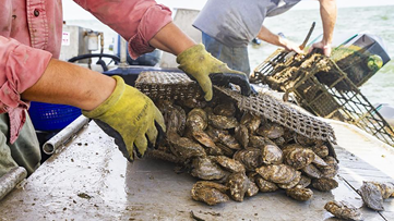 Can cage-grown oysters replace traditional farming in Louisiana?