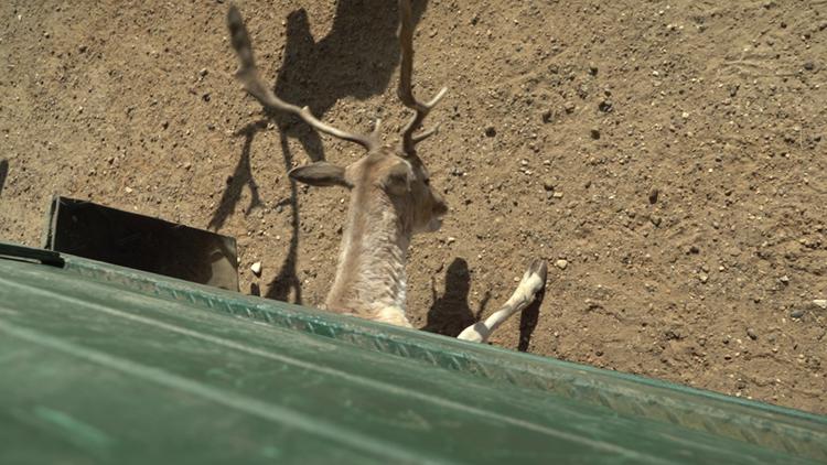 Global Wildlife Deer eating under wagon