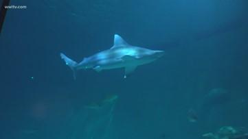 Shark Week: Feeding time at the Audubon Aquarium!