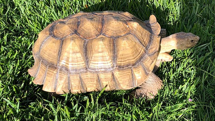 Tortoise the size of coffee a table missing in Metairie; $500 reward