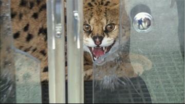 Wild cat captured in Metairie neighborhood after attacking chicken