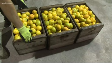 After two tough years, Louisiana citrus crop looking good