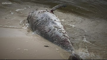 Dolphins are dying at an alarming rate off Louisiana's coast