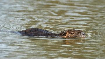 Louisiana hopes for bigger nutria catch
