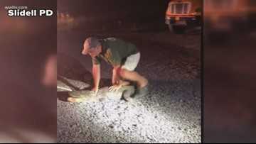 7-foot alligator captured on Slidell High campus