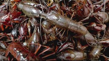 Louisiana crawfish season off to strongest start in years