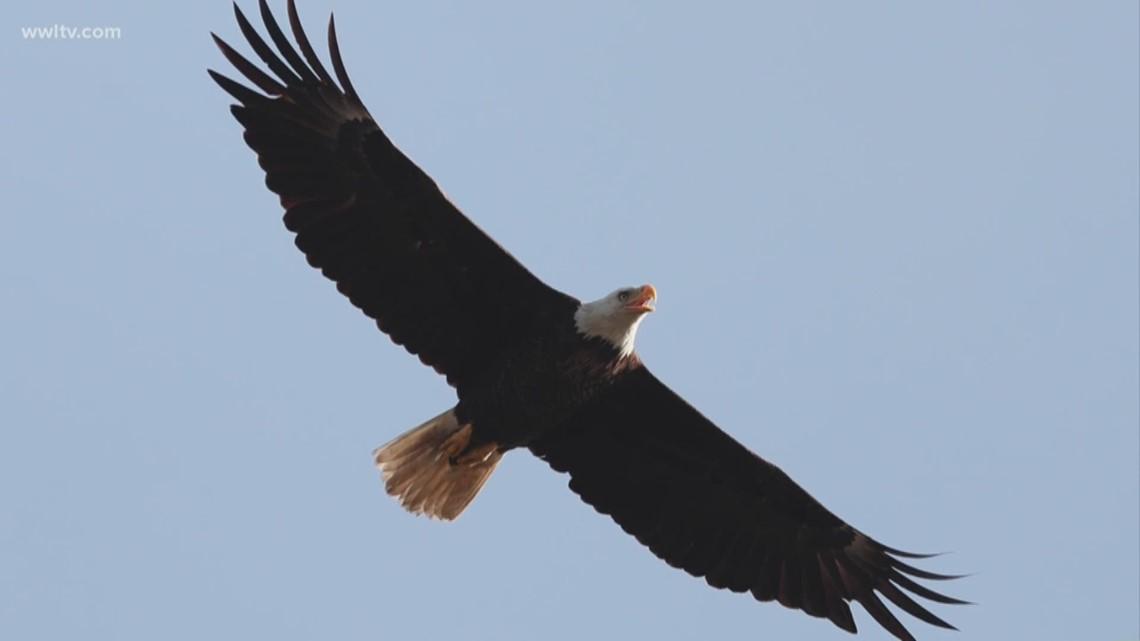 Louisiana Man 18 Accused Of Killing Bald Eagle Hawk Wwltv Com