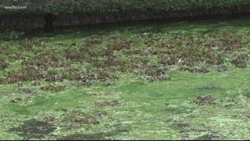 Algae bloom in Lake Pontchartrain could be disturbing the local food chain