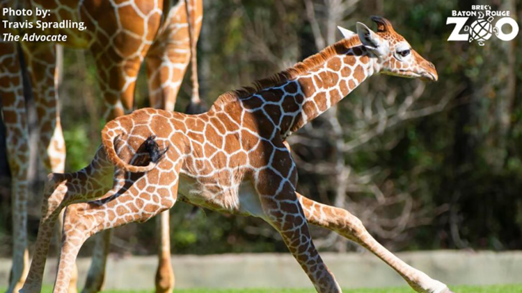 Hello, baby Burreaux! LSU fans pick giraffe's name at Baton Rouge Zoo