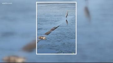 Alligators spotted along Mandeville lakefront