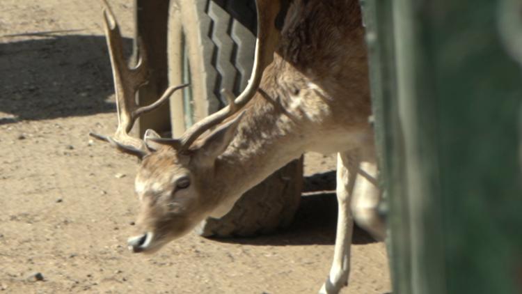 Global Wildlife Deer darting under tires