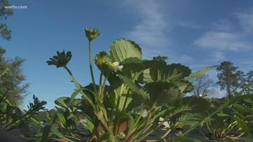 Ponchatoula strawberry farmers prepare for frost