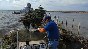 Your Christmas trees could help stop Louisiana's coastal erosion
