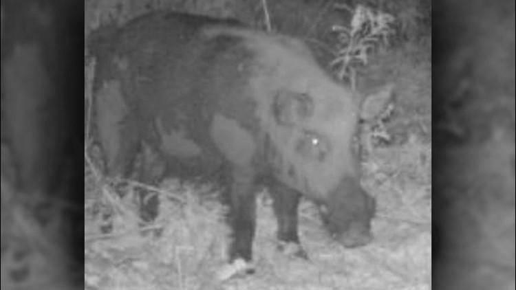 Big Pig Hog