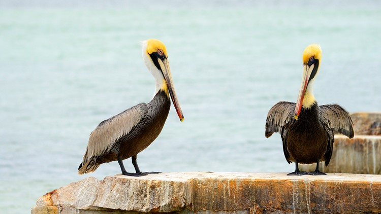 Pelicans found killed, mutilated in Plaquemines, St. Bernard parishes
