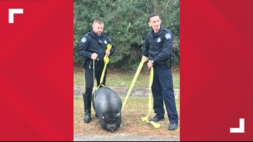 Deputies capture pig playing in traffic on northshore highway Thursday