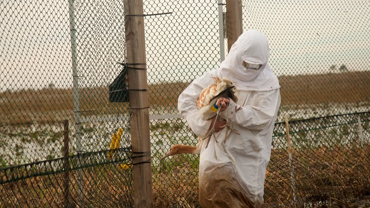 11 more endangered whooping cranes in southwest Louisiana