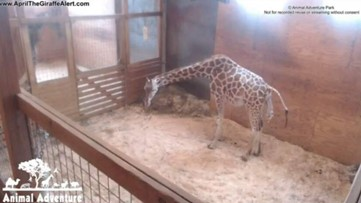 Watch live: Meet April the Giraffe's new calf!