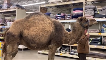 'All leashed pets are welcome' | Man brings camel to PetSmart